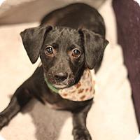 Adopt A Pet :: Sassafras - San Diego, CA