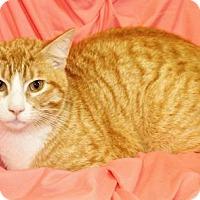 Domestic Shorthair Cat for adoption in Waynesboro, Pennsylvania - Snuggles