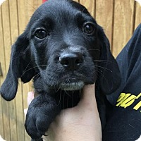 Adopt A Pet :: Hamilton (Danielle- Camden) - Blossvale, NY