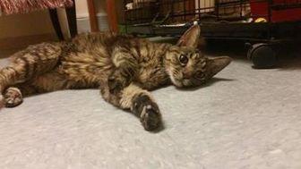 Domestic Mediumhair/Domestic Shorthair Mix Cat for adoption in Waupun, Wisconsin - Kanga