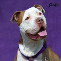 American Pit Bull Terrier Mix Dog for adoption in Stroudsburg, Pennsylvania - Jake