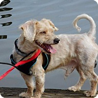 Cairn Terrier Dog for adoption in Freeport, New York - Caine