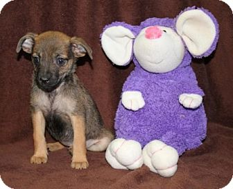 Chihuahua Mix Puppy for adoption in Newark, New Jersey - Guac