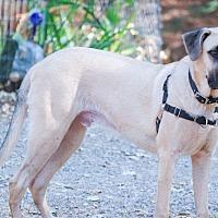 Adopt A Pet :: Scooby big blond boy - Sacramento, CA