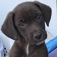 Adopt A Pet :: Sylvester - ST LOUIS, MO