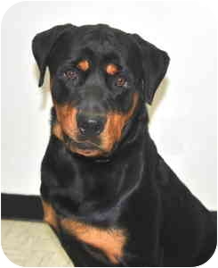 Rottweiler Dog for adoption in Port Washington, New York - Striker
