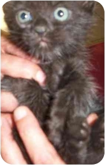 Domestic Shorthair Kitten for adoption in Burleson, Texas - Doo