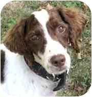 English Springer Spaniel Mix Dog for adoption in Wooster, Ohio - SATIN