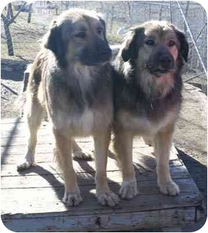 Great Pyrenees/German Shepherd Dog Mix Dog for adoption in Bakersfield, California - Kate & (Leopold)