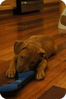 Pit Bull Terrier Mix Puppy for adoption in Clarksburg, Maryland - Ginger