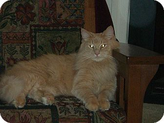 Domestic Longhair Cat for adoption in St. Louis, Missouri - Chevy