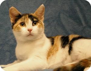 Domestic Shorthair Cat for adoption in Sacramento, California - Princess