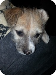 Terrier (Unknown Type, Small) Mix Puppy for adoption in Las Vegas, Nevada - Daisy's Lucas