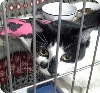 Domestic Shorthair Cat for adoption in Raritan, New Jersey - Mia