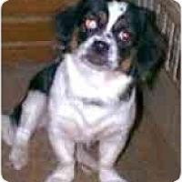 Adopt A Pet :: Vaquita - dewey, AZ