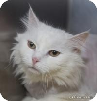 Domestic Longhair Cat for adoption in Sierra Vista, Arizona - Amy