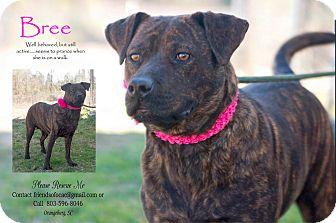 Staffordshire Bull Terrier/Pit Bull Terrier Mix Dog for adoption in Orangeburg, South Carolina - Bree - URGENT (2/9/15)