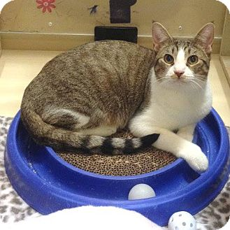 Domestic Shorthair Cat for adoption in Weatherford, Texas - Malibu
