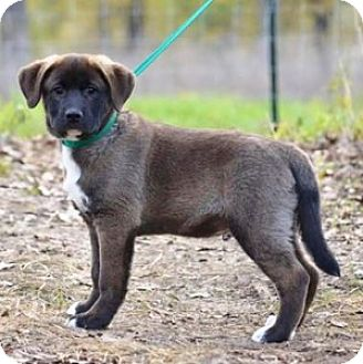 Great Pyrenees Mix Puppy for adoption in Chalfont, Pennsylvania - Diesel