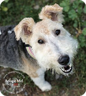 Wirehaired Fox Terrier Mix Dog for adoption in Lyons, New York - Spring