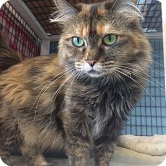 Maine Coon Cat for adoption in Denver, Colorado - Maggie