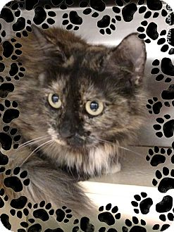 Domestic Longhair Cat for adoption in Pueblo West, Colorado - Cleopatra
