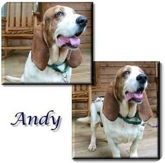 Basset Hound Dog for adoption in Marietta, Georgia - Andy