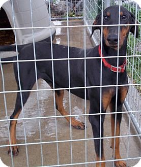 Doberman Pinscher Dog for adoption in Greenville, Kentucky - Martin