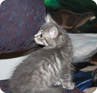 Domestic Shorthair Kitten for adoption in Anoka, Minnesota - Ringo