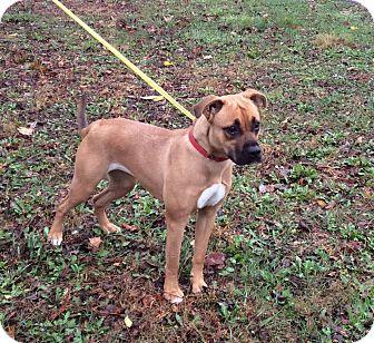 Boxer Mix Dog for adoption in Atchison, Kansas - Bella