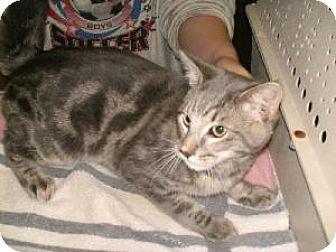 Domestic Mediumhair Cat for adoption in Green Cove Springs, Florida - Braden