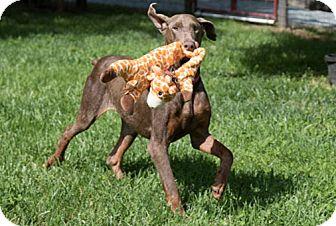 Doberman Pinscher Dog for adoption in Greensboro, North Carolina - THERESA