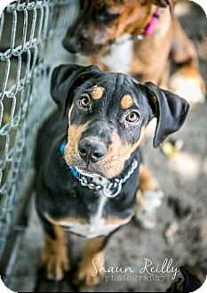 Rottweiler/Hound (Unknown Type) Mix Puppy for adoption in Hammonton, New Jersey - Simon