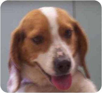 Beagle Dog for adoption in Ventnor City, New Jersey - ZACK