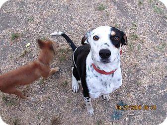 Dalmatian Mix Dog for adoption in Turlock, California - Marley