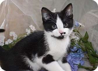 Domestic Shorthair Kitten for adoption in Bristol, Connecticut - Micky & Ricky
