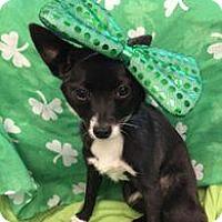 Adopt A Pet :: Foxy Roxy - Shawnee Mission, KS