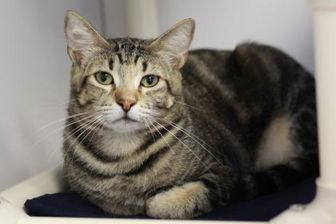 Domestic Shorthair/Domestic Shorthair Mix Cat for adoption in Kyle, Texas - FLY