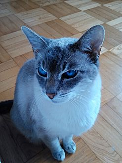 Siamese Cat for adoption in Toronto, Ontario - Champ