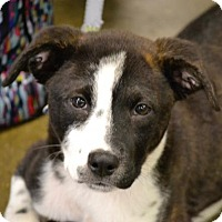 Adopt A Pet :: Oreo #1245 - Arlington Heights, IL