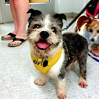 Adopt A Pet :: Scruffles - Bealeton, VA