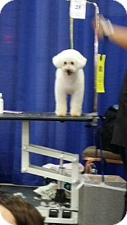 Poodle (Miniature) Mix Dog for adoption in Las Vegas, Nevada - Oso