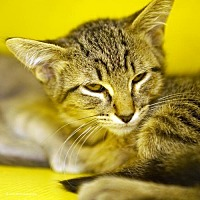 Adopt A Pet :: Yosemite - Tucson, AZ