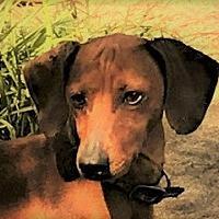Adopt A Pet :: Chance - Decatur, GA