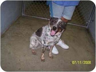 Australian Cattle Dog/Blue Heeler Mix Dog for adoption in Shelbyville, Kentucky - Sweet Pea