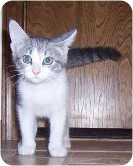 Domestic Shorthair Kitten for adoption in Oklahoma City, Oklahoma - Star(board)
