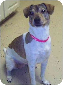 Terrier (Unknown Type, Small) Mix Dog for adoption in Plano, Texas - Roxette