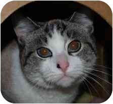 Domestic Shorthair Cat for adoption in Walker, Michigan - Booger