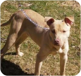 Labrador Retriever/American Pit Bull Terrier Mix Dog for adoption in Bloomfield, Connecticut - Riley