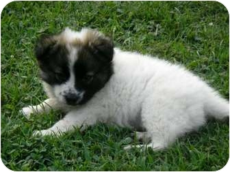 Australian Shepherd Mix Puppy for adoption in Paintsville, Kentucky - Dolly-HOLD